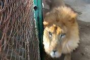 Lupa Kunci Kandang, Petugas Kebun Binatang Tewas Diterkam Singa