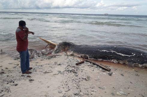 Bangkai Paus Raksasa Terdampar di Pesisir Pantai Pulau Buru