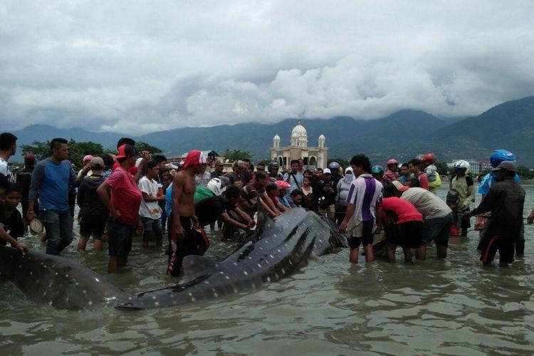 Hiu paus terperangkap jaring nelayan saat mencari ikan-ikan kecil maupun plangton. Ikan jenis ini merupakan jenis ikan yang dilindungi.