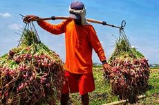 Masih Menguntungkan, Petani Brebes Semangat Tanam Bawang Merah
