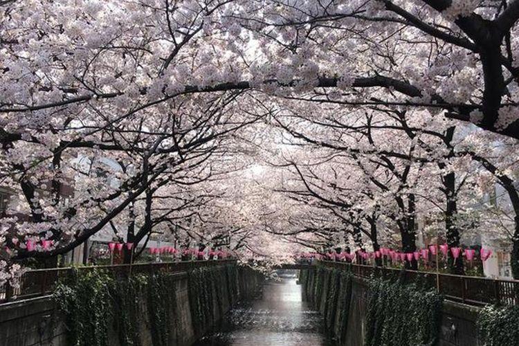 """Sungai Meguro"" dengan cara hanami yang berkembang, berlayar sambil menikmati pemandangan sakura yang populer."