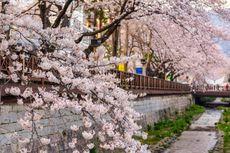 Inilah Tempat Terbaik di Korea untuk Melihat Bunga Sakura