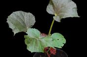 Cerita Peneliti di Balik Penemuan dan Penamaan Spesies Begonia Baru