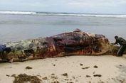 Paus Sepanjang 12 Meter Mati Terdampar di Bengkulu