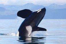 Viral, Video Rekam Wanita Asik Berenang dengan Orca di Alam Liar