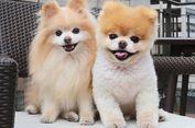 Boo, Anjing Terlucu di Dunia Mati karena 'Patah Hati'