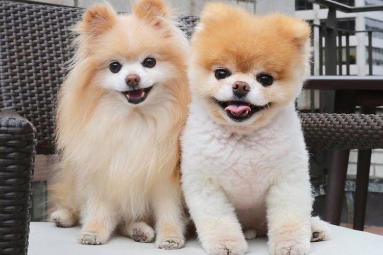 Boo (kanan) anjing terlucu di dunia bersama Buddy (kiri). (Facebook/Boo)