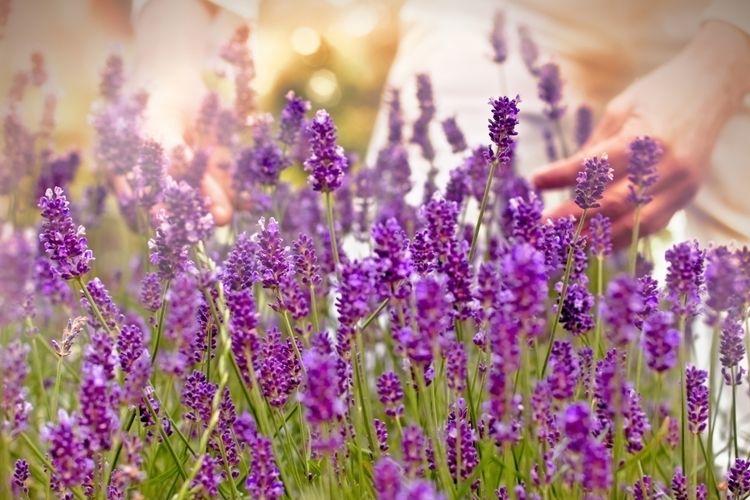 Ilustrasi lavender