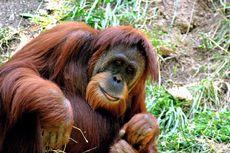 Bujuk Rayu Staf Kebun Binatang Berhasil Selamatkan Orangutan dari Kebakaran
