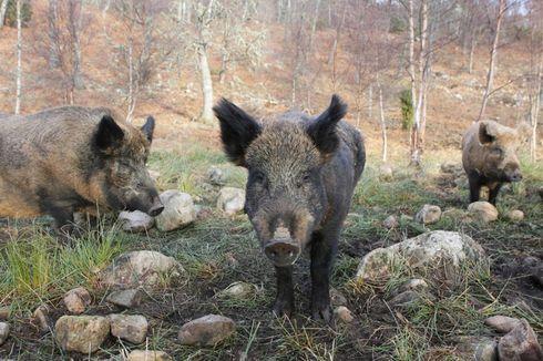 Pemburu Tewas Diserang Babi Hutan di Jerman
