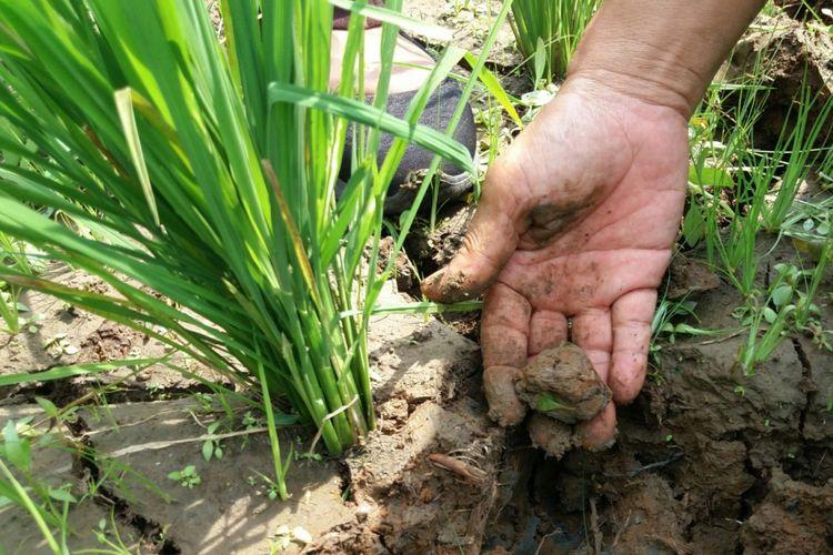 Kementerian Pertanian (Kementan) optimistis produksi padi pada semester II 2018 masih maksimal.