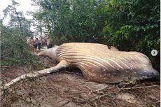 Misterius, Paus Bungkuk 11 Meter Terdampar di Hutan Amazon