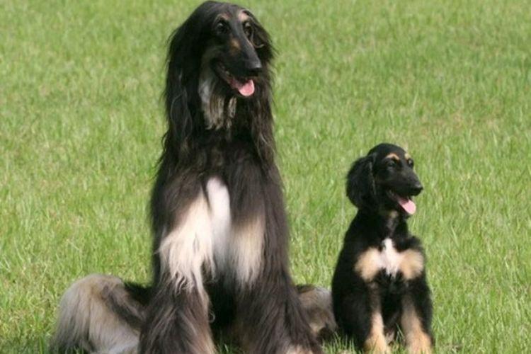 Snuppy (kanan), anjing Afghanistan pertama yang berhasil dikloning. Duduk dengan ayah genetisnya di Universitas Nasional Seoul pada 3 Agustus 2005 di Seoul.