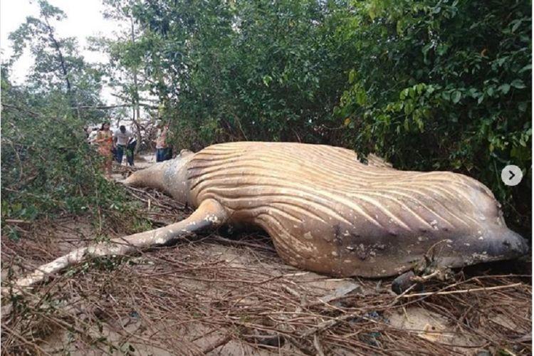 Paus bungkuk terdampar di hutan Amazon