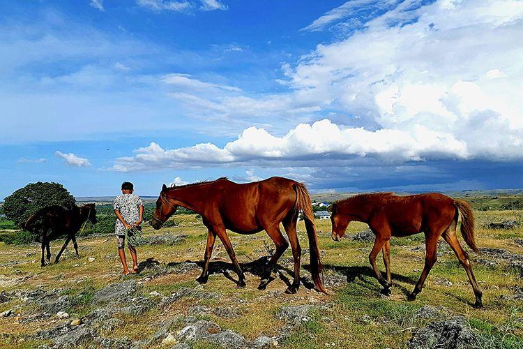 Jupen (12) tengah menggembalakan kuda di Bukit Persaudaraan, Desa Bukit Persaudaraan, Kecamatan Mauliru, Waingapu, Sumba Timur, Nusa Tenggara Timur, Kamis (2/5/2019). Kuda menjadi salah satu ternak utama yang dipergunakan sebagai belis atau maskawin di Sumba selain kerbau dan babi. Tradisi belis masih berkembang kuat di daerah ini.