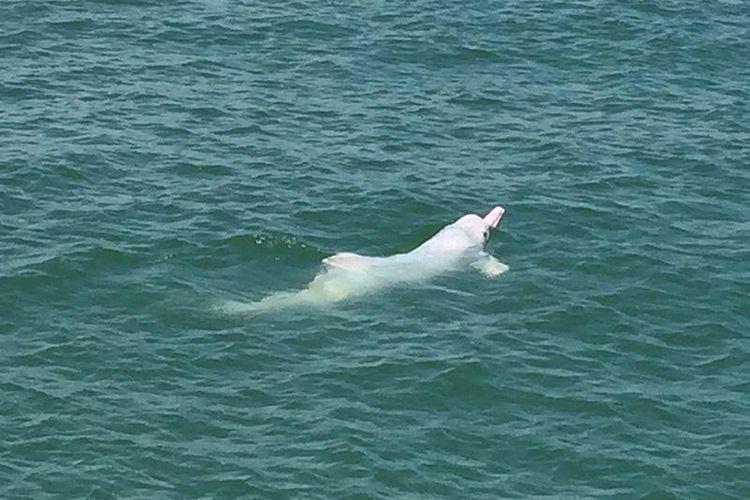 Lumba-lumba putih.