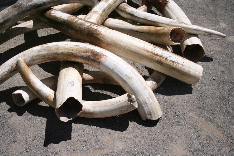Ilustrasi tumpukan gading gajah mentah.