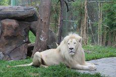 Mau Lihat Singa Putih? Di Jakarta Ada Kok...
