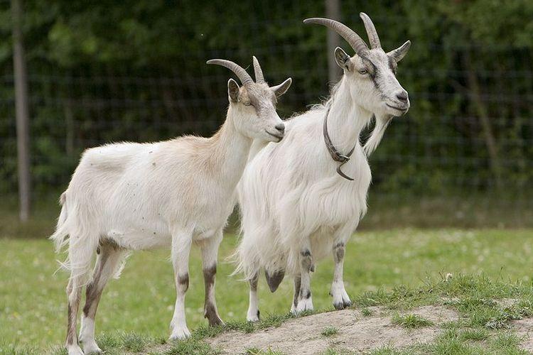 Ilustrasi kambing