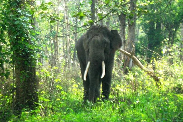 Gajah India.