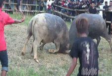 Ma'pasitanduk Tedong, Tradisi Menghibur Warga yang Berduka di Mamasa