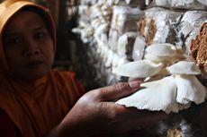 Meraup Untung Budidaya Jamur Tiram, Modal Awal Cuma Rp 2,5 Juta