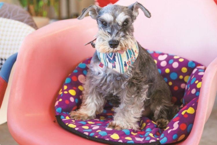 Anjing yang menjadi maskot toko FUTORO cafe+dining adalah seekor anjing Cihuahua bernama Bigoote (10 tahun).