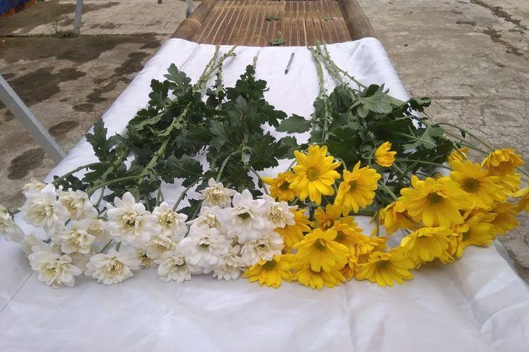 Bunga krisan dinilai mempunyai nilai ekonomis untuk diekspor ke berbagai negara, salah satunya Jepang.