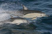 Di Balik 'Senyum' Lumba-lumba, dari Mitos Penyembuhan hingga Obyek Hiburan