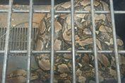 Ular Piton Raksasa Ditangkap di Kebun Karet di Riau, Diduga Sedang Cari Mangsa