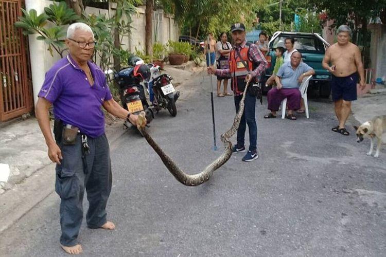 Bang Sem (kaus ungu) memegang ular piton sepanjang 4,5 meter yang diambilnya dari kediaman seorang warga di Bangkok, Thailand.