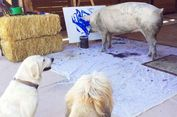 Seekor Babi yang Pandai Melukis, Gelar Pameran Tunggal