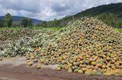 Ratusan Ton Nanas di Australia Dibiarkan Membusuk