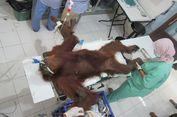 Kasus Orangutan Hope, Bagaimana Aturan tentang Kepemilikan Senapan?