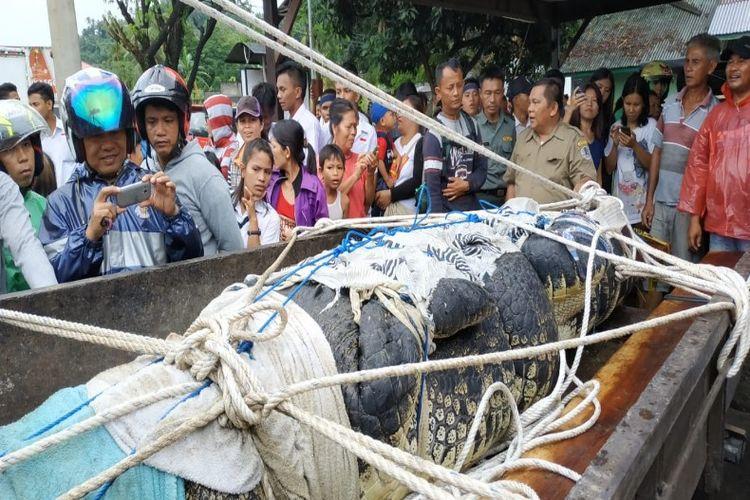 Buaya yang memangsa perempuan bernama Deasy Tuwo (44) saat dinaikan ke mobil bak terbuka dan disakasikan warga di lokasi kandang buaya di area perusahaan budidaya mutiara di Desa Ranowangko, Kecamatan Tanawangko, Minahasa, Senin (14/01/2019).