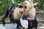 Ikuti Langkah Manusia, Sekelompok Monyet Panama Masuki Zaman Batu