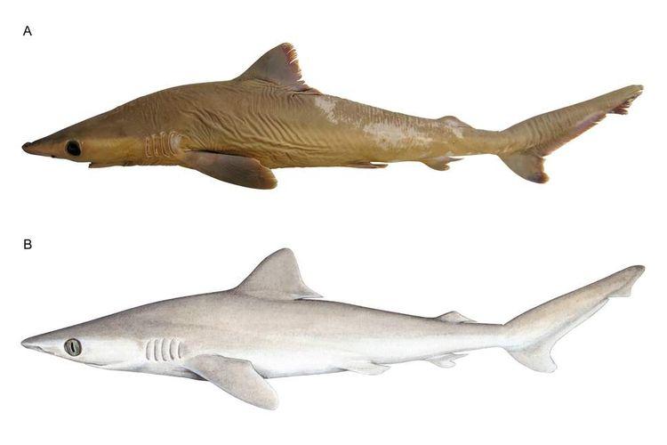 Spesimen Carcharhinus obsolerus yang diawetkan (atas) dan ilustrasi bila spesies ini masih hidup (bawah)