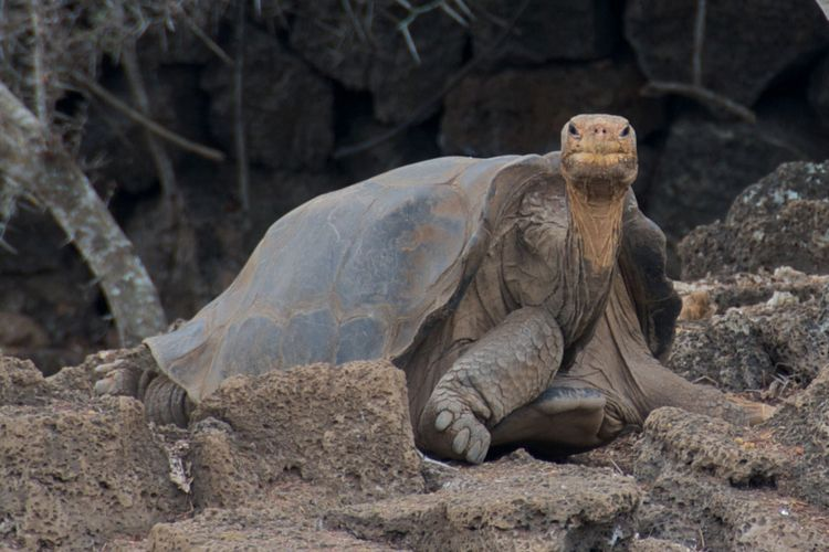 Loneome George di pulau Galapagos pada 29 Oktober 2009.