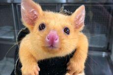 Pikachu Nyata dan Hidup di Australia, Begini Wujudnya