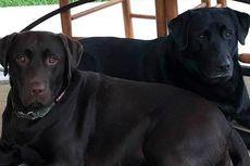 Kisah Dua Anjing Selamatkan Nyawa Pemiliknya yang Terkena Stroke