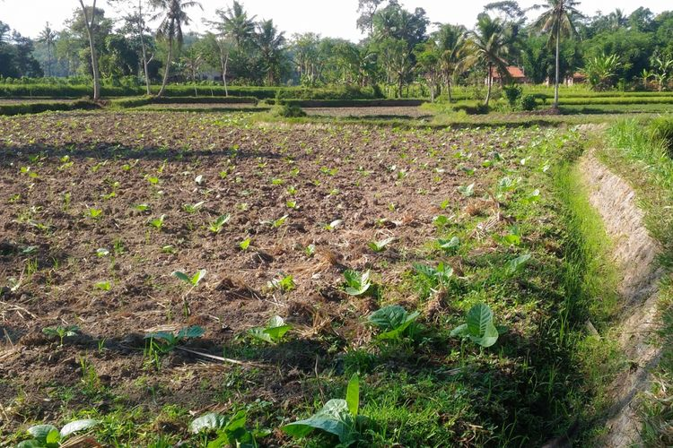 Tanaman tembakau di Desa Sukogidri, Kecamatan Ledok Ombo, Kabupaten Jember. Salah satu komoditas andalan asal Jember ini telah menembus pasar ekspor.