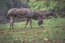 Pemerintah Yunani Larang Turis Gemuk Tunggangi Keledai