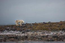 Perubahan Iklim Jadi Ancaman Besar Bagi Habitat Beruang Kutub