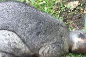 Kepala Possum Ini Terperangkap dalam Toples Selai Cokelat