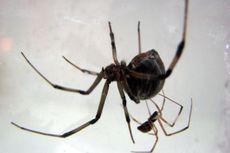 Laba-laba Janda Cokelat, Rela Tak Punya Anak dan Mati Setelah Kawin