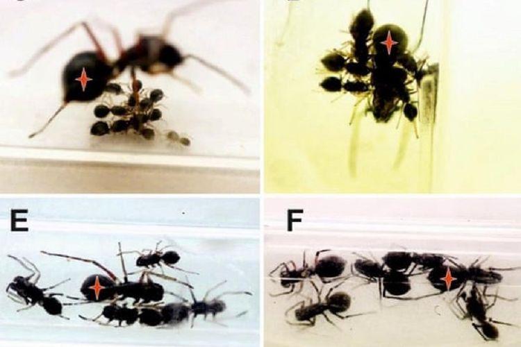 Laba-laba pelompat di Taiwan menyusui anak-anaknya