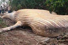 Paus Bungkuk Sepanjang 8 Meter Ditemukan Terdampar hingga Hutan Amazon