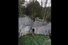 Susun Dahan Pohon Jadi Tangga, Sekelompok Simpanse Kabur dari Kandang