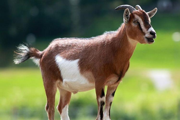 Hasil gambar untuk kambing