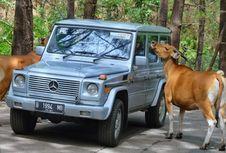 Loyalis Mercedes Jip, Jelajah Jawa Timur di Akhir Tahun